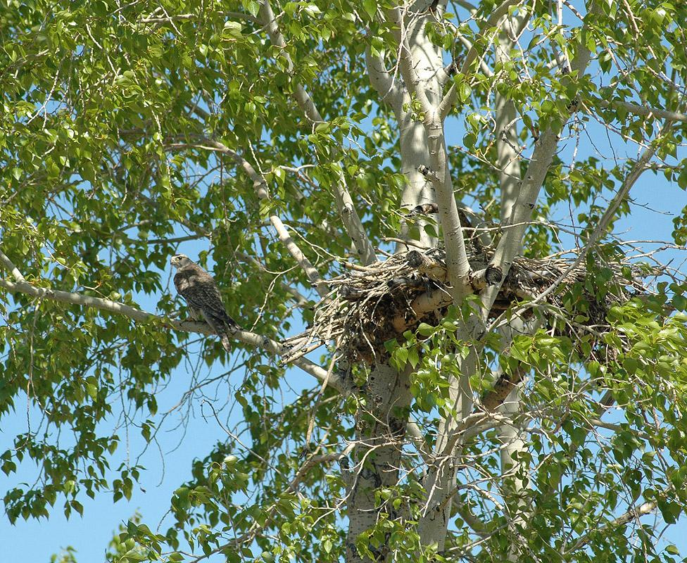 Гнездо балобана на платформе на тополе. Фото И. Карякина