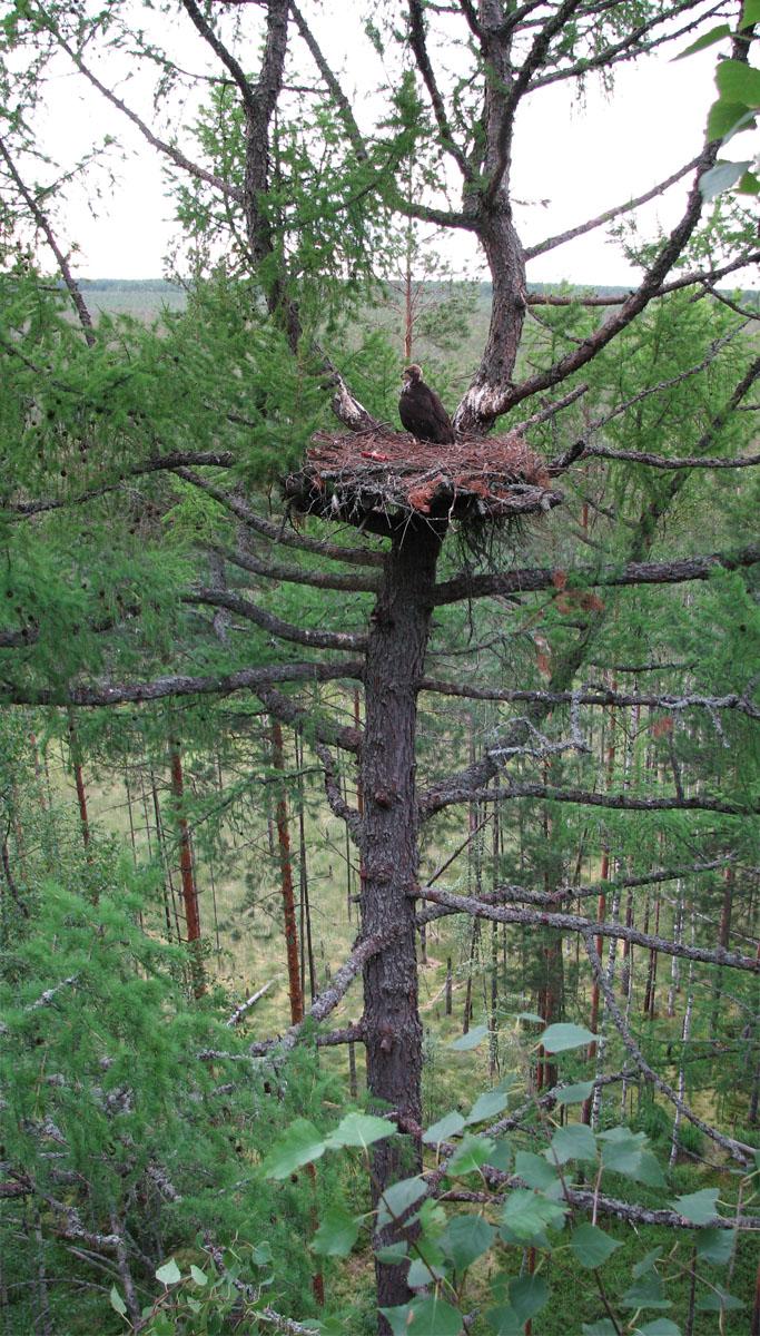 Гнездо беркута на лиственнице на платформе. Фото А. Левашкина