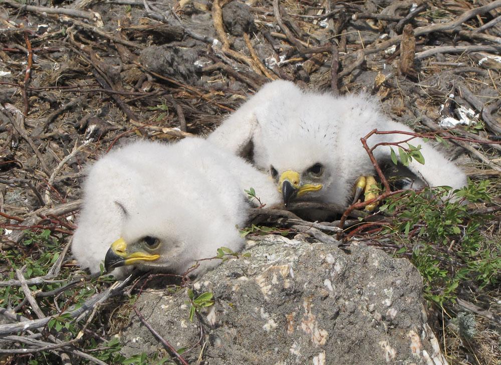 Пуховые птенцы степного орла. Фото И. Карякина