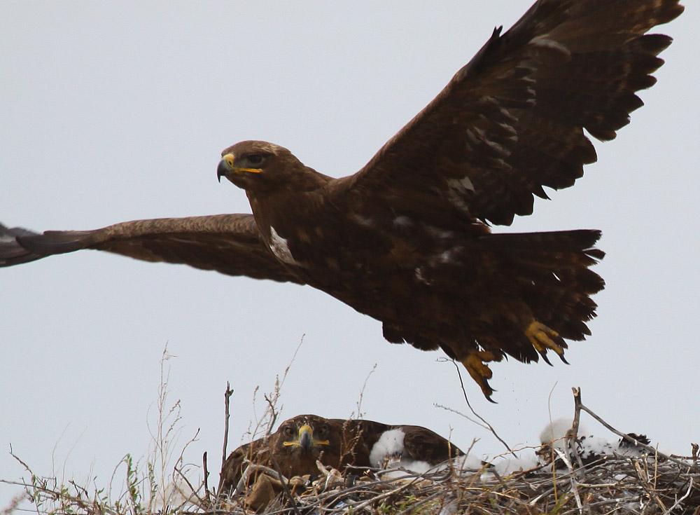 Пара степных орлов на гнезде. Фото А. Коваленко