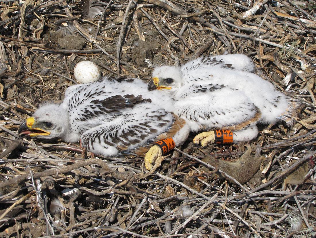 Птенцы степного орла, помеченные цветными кольцами. Фото И. Карякина.