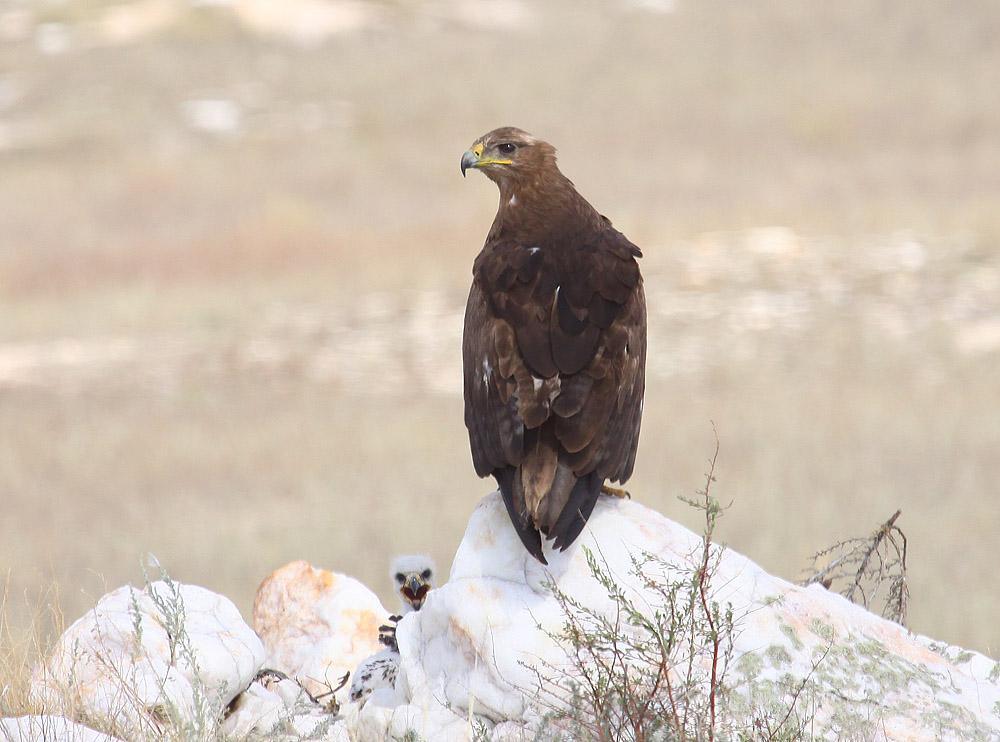 Самка степного орла на гнезде с птенцами, спрятанном среди камней. Фото А. Коваленко