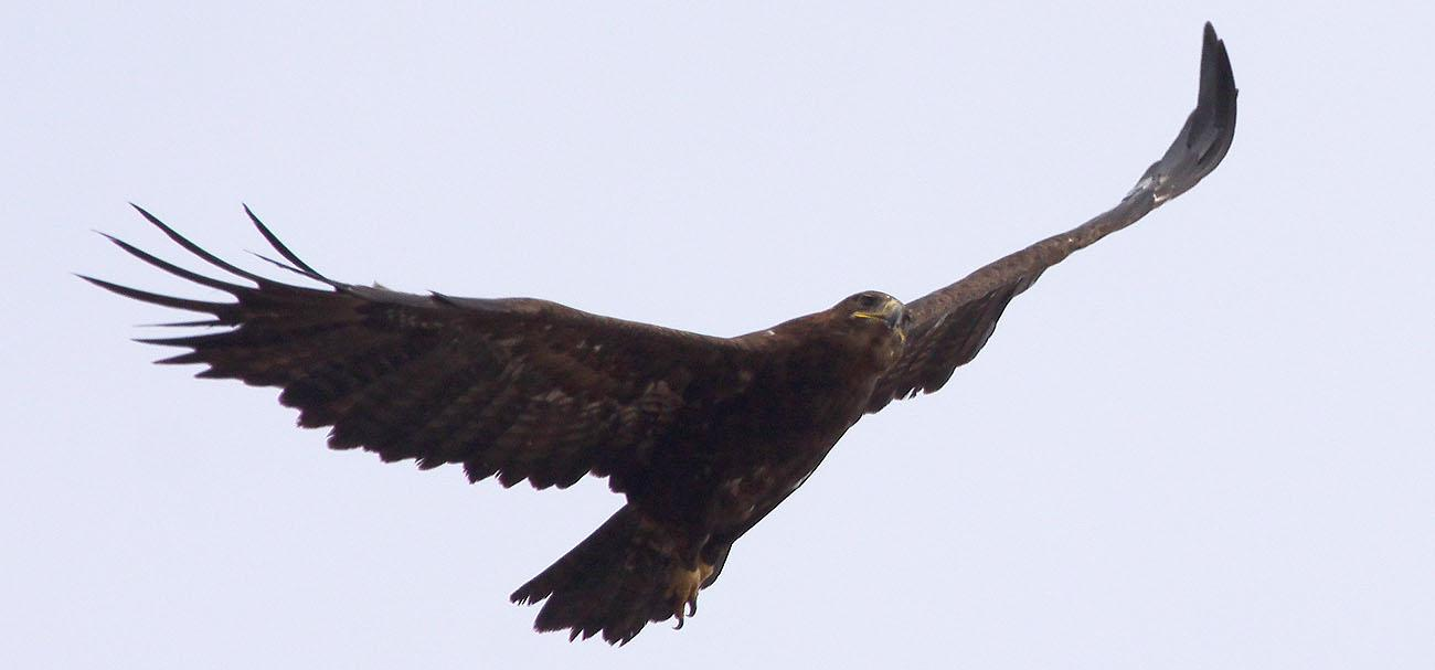 Степной орёл. Фото А. Коваленко