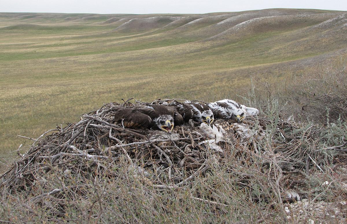 Гнездо степного орла на склоне степного плато. Фото И. Карякина