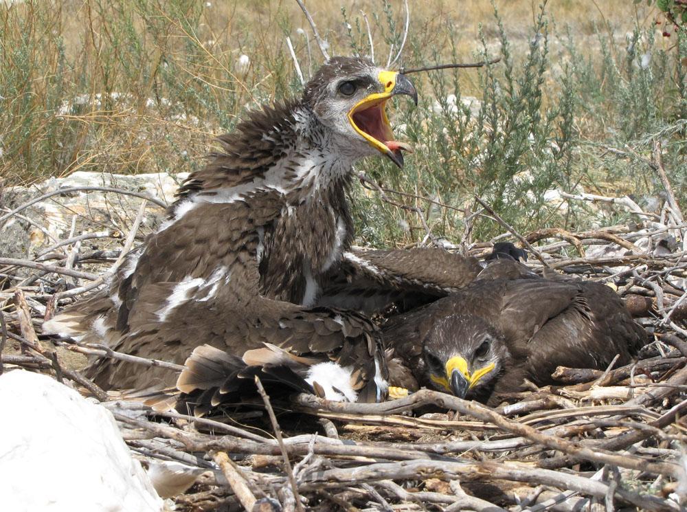 Оперенные птенцы степного орла. Фото И. Карякина