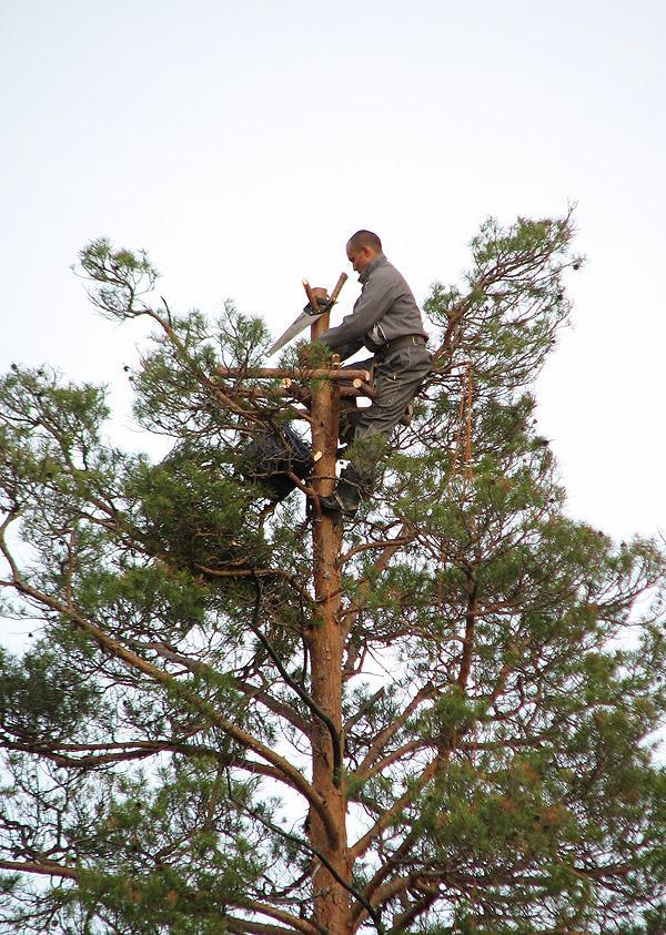 Алексей Карпов строит гнездовую платформу для скопы. Фото А. Левашкина