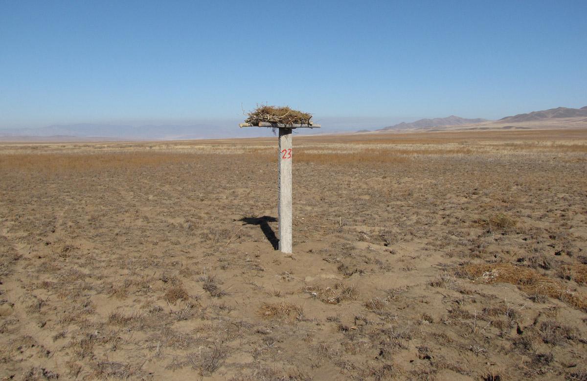 Идеальное расположение искусственного гнездовья для мохноногого курганника среди колонии пищух. Фото И. Карякина