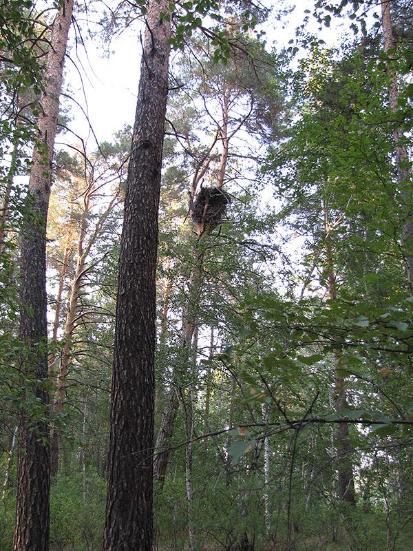 Естественное гнездо беркута на сосне. Фото И. Карякина