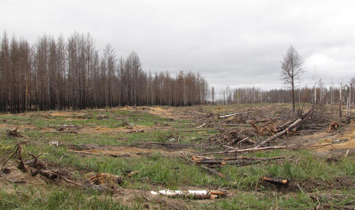Так выглядят леса Нижегородского Заволжья после 2010 г. На дальнем плане гнездовая платформа для беркута. Фото И. Карякина