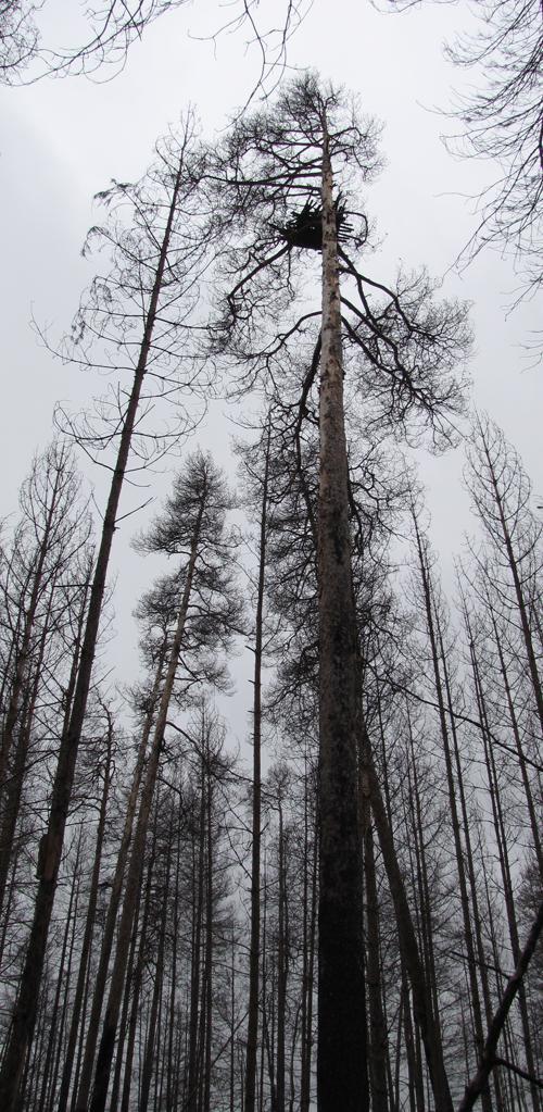 Гнездовая платформа для беркута в погибшем лесу. Простояла 10 лет. Фото И. Карякина