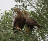 Пара орланов-белохвостов у гнезда. Фото Р. Бекмансурова