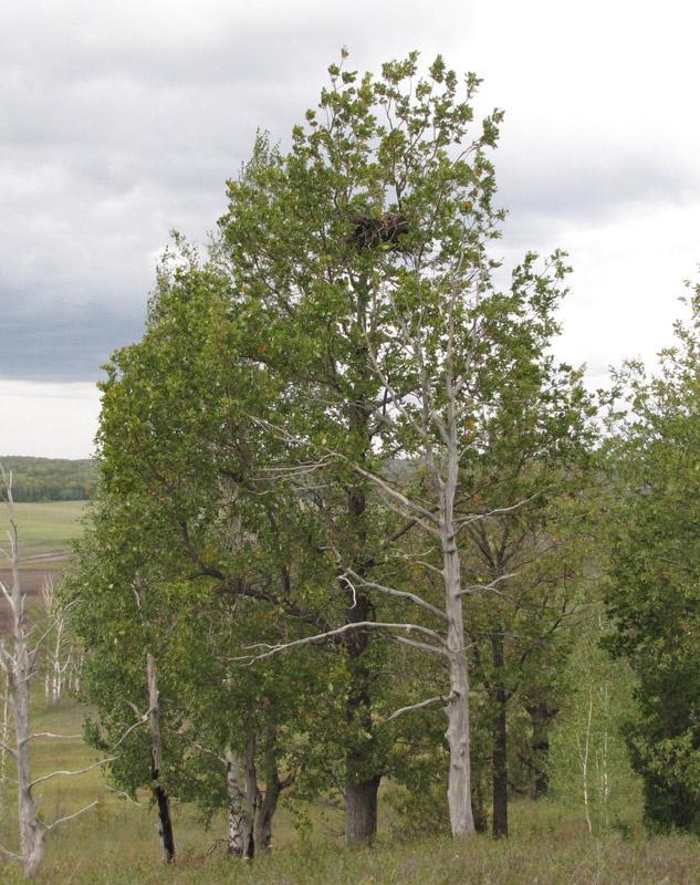 Естественное гнездо могильника на дубе. Фото И. Карякина