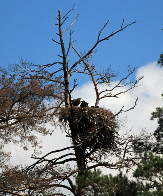 Гнездо орлана-белохвоста. Фото Р. Бекмансурова.