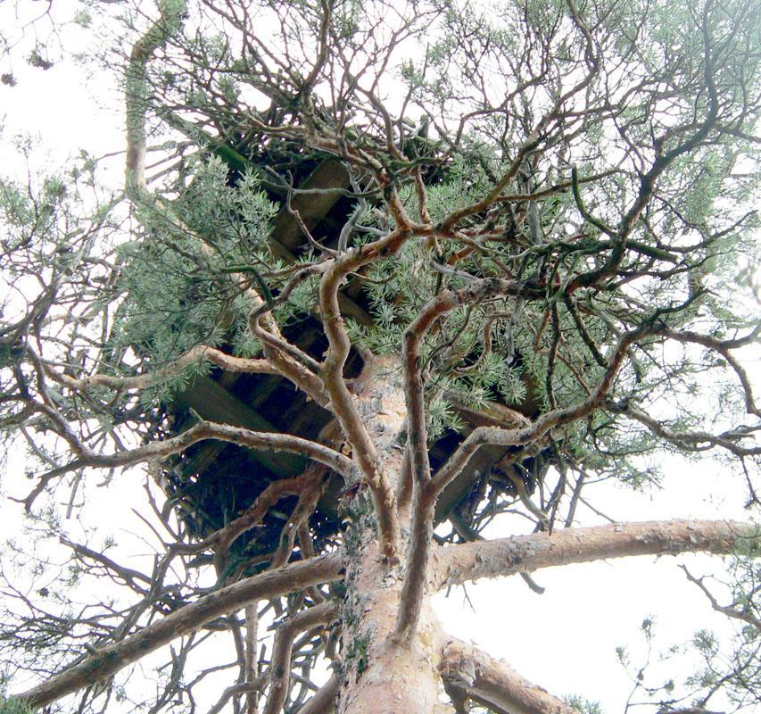 Гнездо скопы на платформе. Фото С. Бакки