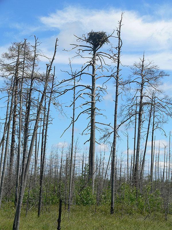 Естественное гнездо скопы. Фото С. Бакки