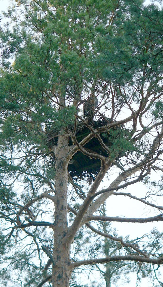 Гнездо беркута на сосне на платформе. Фото С. Бакки