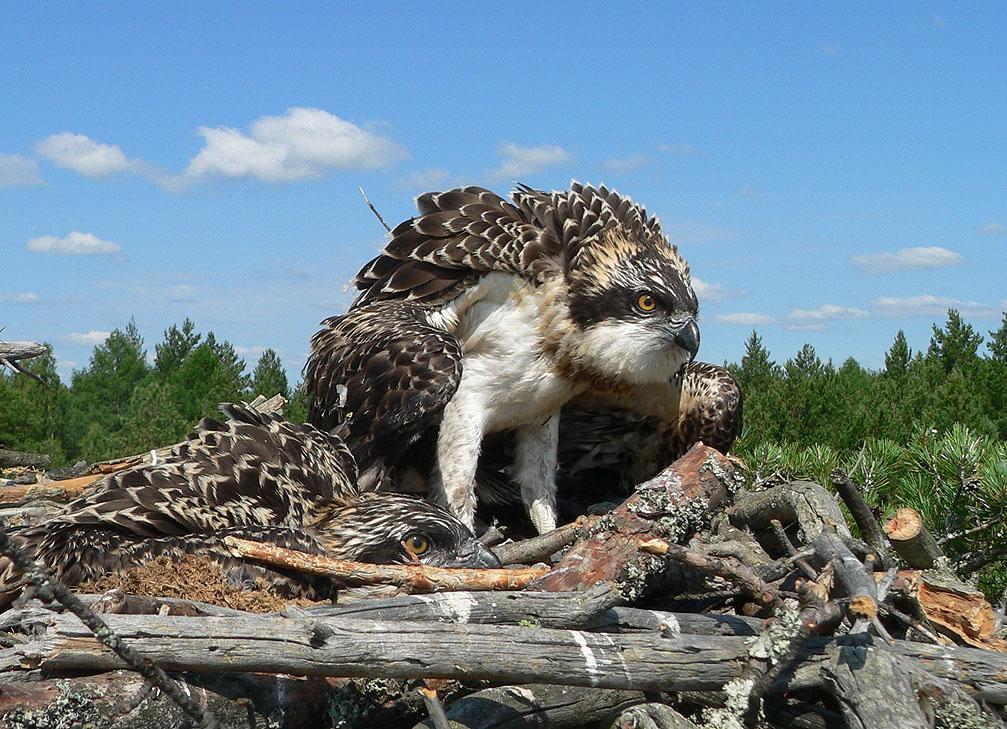 Птенцы скопы в гнезде. Фото С. Бакки