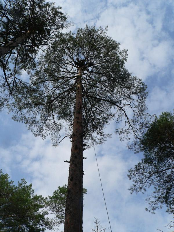 Один человек крепится на дереве и принимает инструменты, платформу и материал для формирования гнезда. Фото С. Бакки