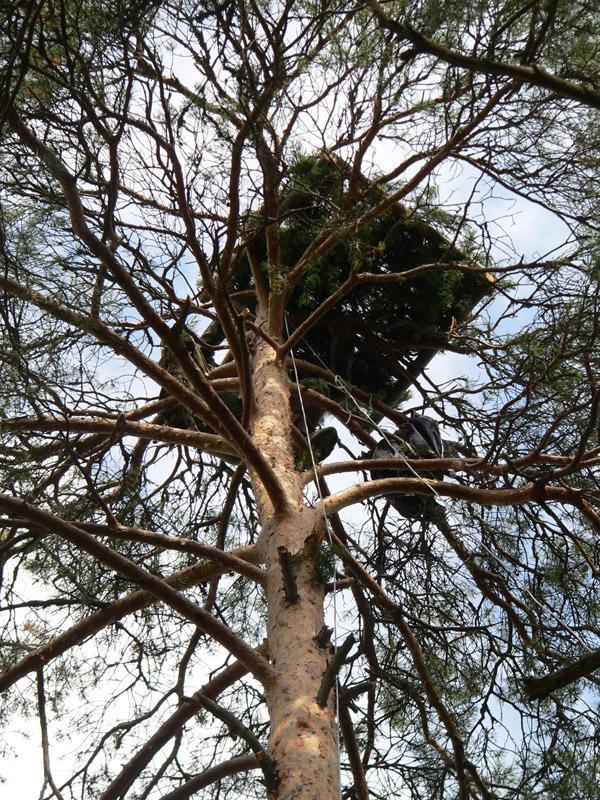 Процесс строительства гнезда на платформе. Фото С. Бакки