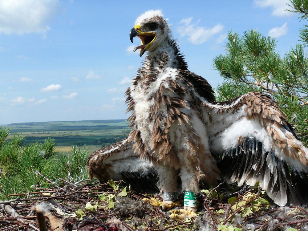 Птенец орла-могильника. Фото Р. Бекмансурова.