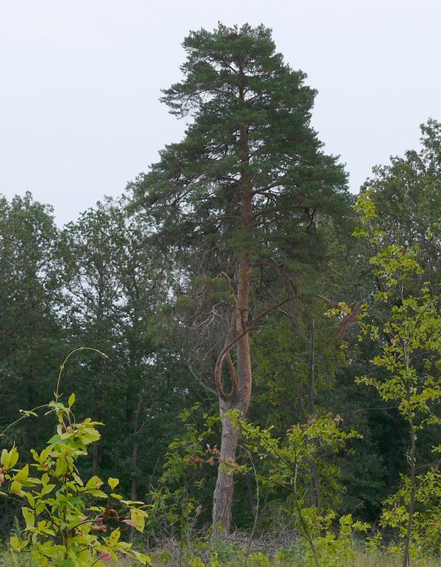 Естественное гнездо могильника на сосне. Фото И. Карякина