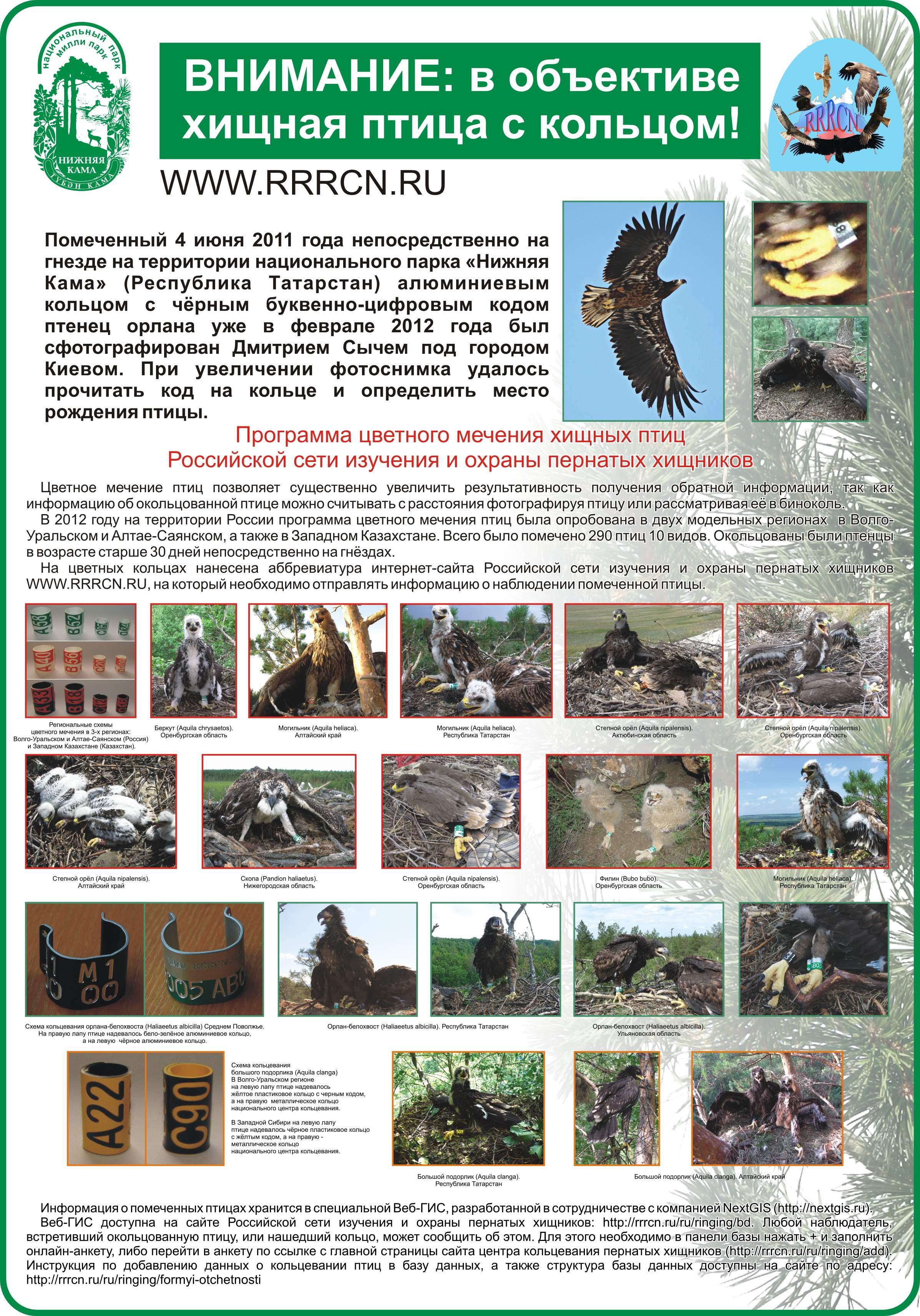 Постер по программе кольцевания хищных птиц