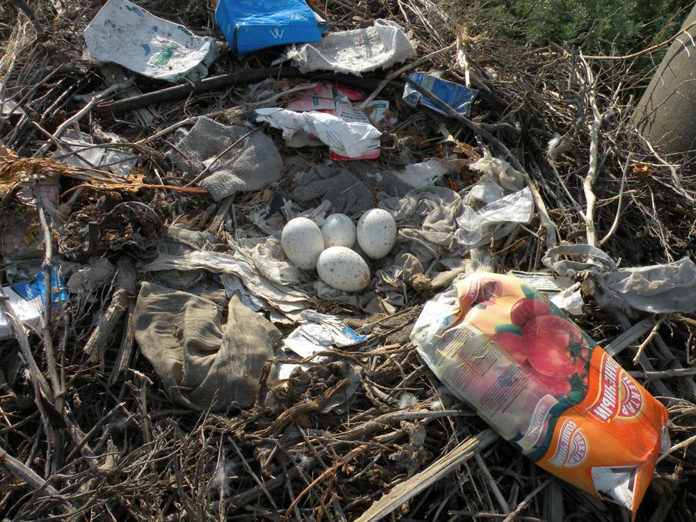 Гнездо степного орла с кладкой. Фото И. Смелянского
