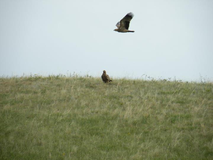 Молодые могильник и степной орел. Фото И. Смелянского