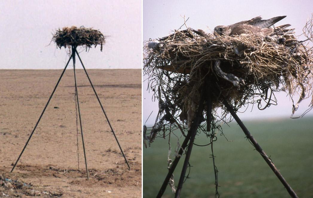 Гнездовая платформа на треногой металлоконструкции с гнездом мохноногого курганника (слева), занятая балобаном (справа). Фото И. Карякина и Е. Потапова