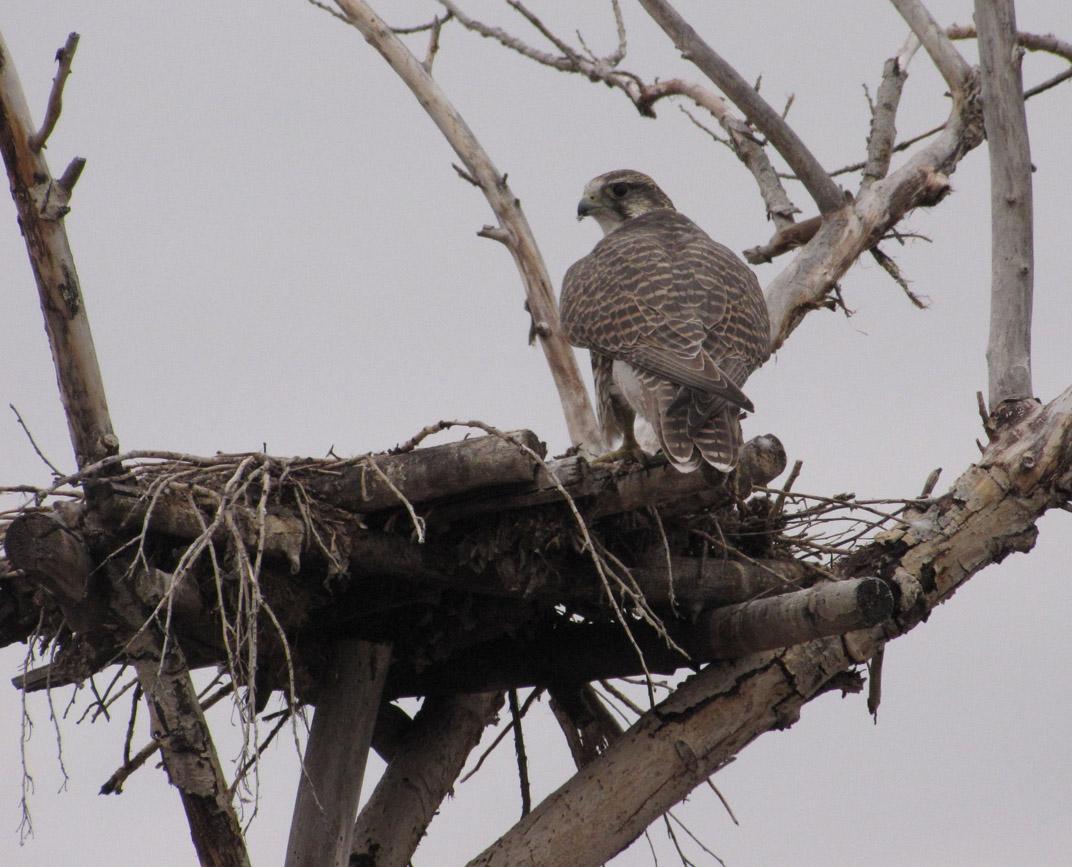 Балобан на гнездовой платформе - осваивает новое жильё. Фото И. Карякина