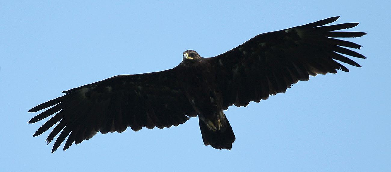 Greater Spotted Eagle. Photo by A. Levashkin.