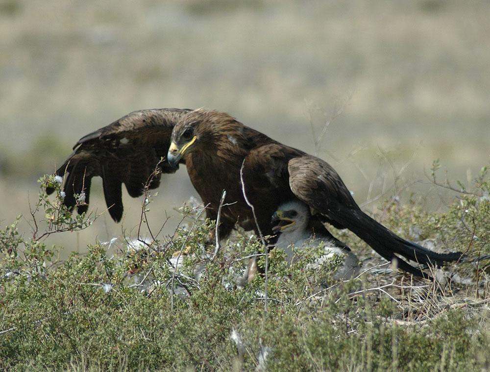 Самка степного орла закрывает от солнца пуховых птенцов. Фото И. Карякина