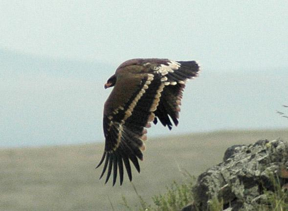 Слёток степного орла в возрасте 65 дней. Фото И. Карякина