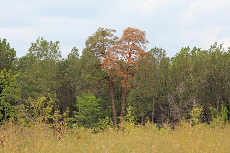 Сохранившееся 1-е гнездовое дерево с гнездом