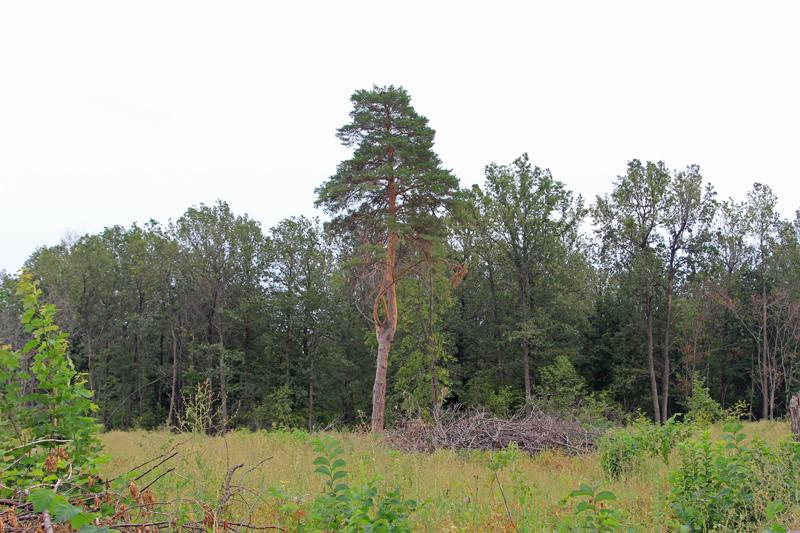 Сохранившееся 2-е гнездовое дерево с жилым гнездом