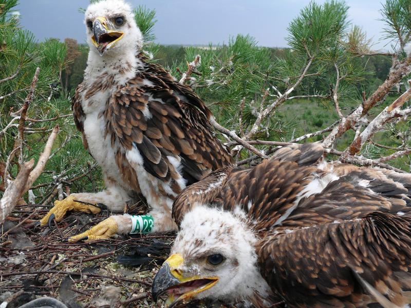 Птенцы орла-могильника на 2-м гнездовом дереве