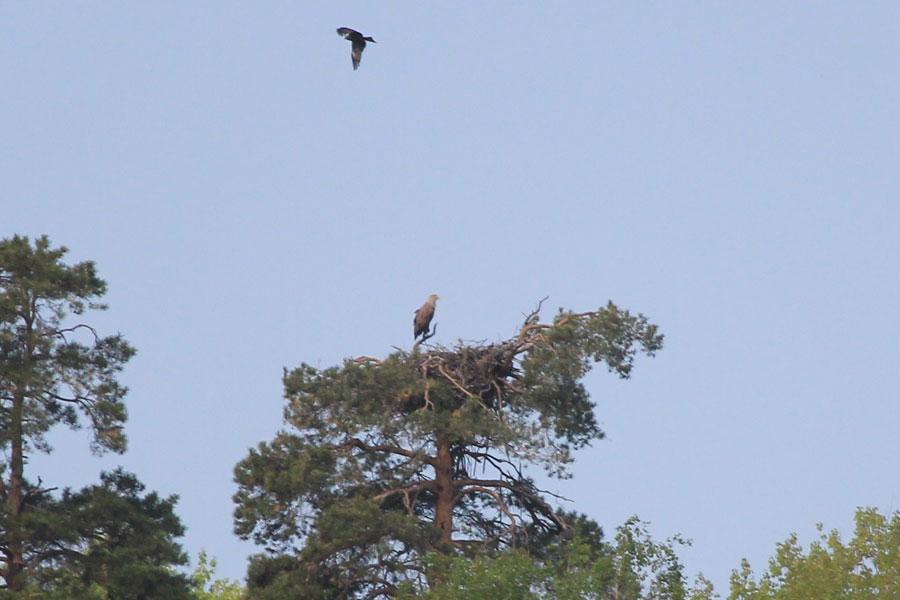 Гнездо орлана-белохвоста. Мамадышский район
