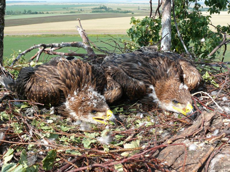 Пример близкого расположения птицеопасной ВЛ (ЛЭП) к гнезду орла-могильника. Аксубаевский район