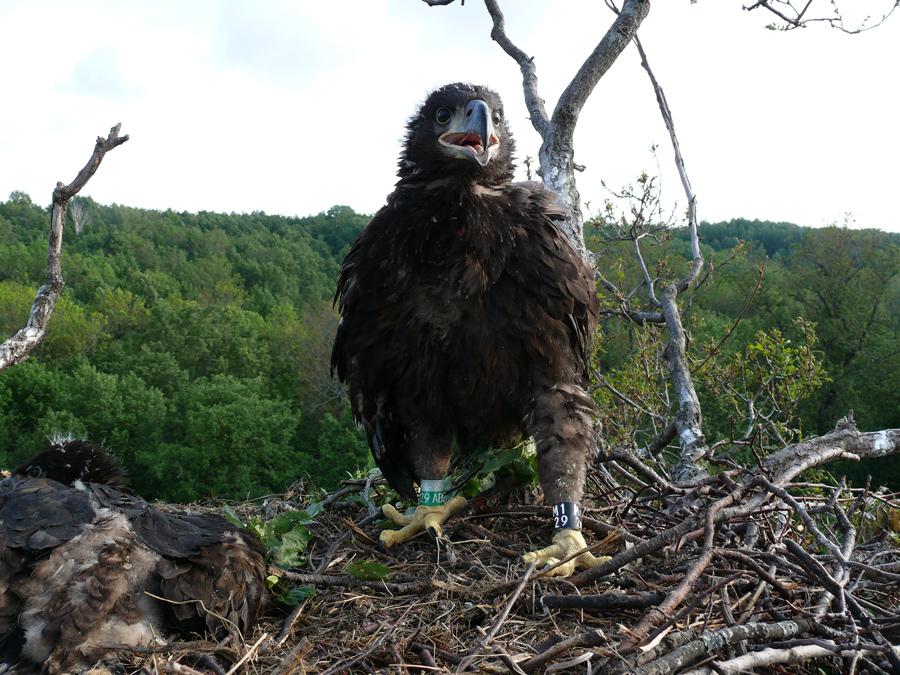 Птенцы орланов-белохвостов на гнезде