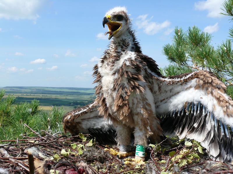 Птенец орла-могильника на гнезде