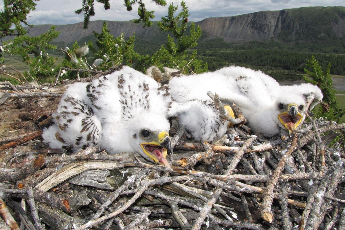 Гнездо степного орла на вершине лиственницы в горах Алтая. Фото Р. Бекмансурова