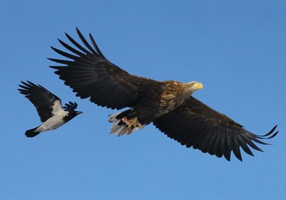 Haliaeetus albicilla and Corvus cornix. Photo by S. Adamov