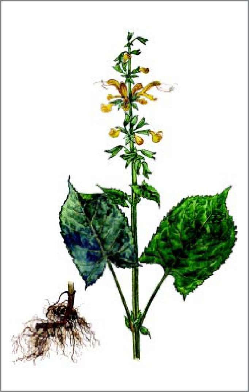 ШАЛФЕЙ КЛЕЙКИЙ Salvia glutinosa