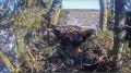 Вебкамера на гнезде беркута в Эстонии