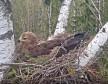 Вебкамера на гнезде малого подорлика в Эстонии