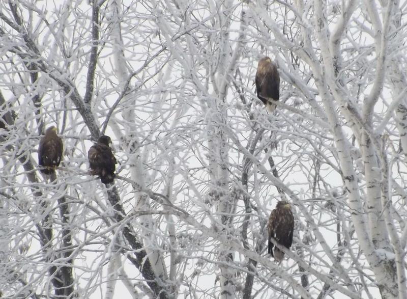 Орланы на зимовке. Фото М. Шашкина.