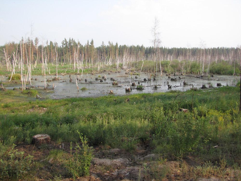 Полностью вырубленный гнездовой участок большого подорлика в Мамонтовском заказнике. Фото И. Карякина