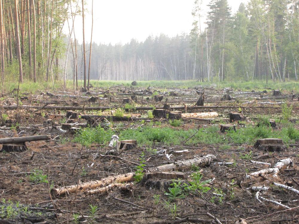 Вырубка на месте гнезда орлана в Мамонтовском заказнике. Фото И. Карякина