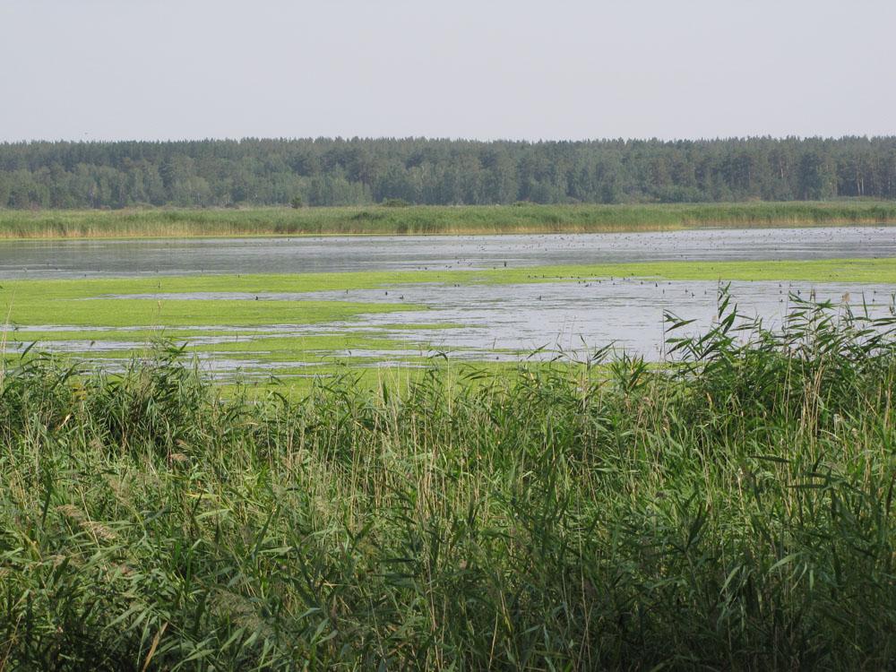 Степные боры Алтайского края, окружённые озёрами и болотами, - настоящие оазисы, где такие редкие виды как большой подорлик, орлан-белохвост и филин гнездятся с высокой плотностью. Фото И. Карякина