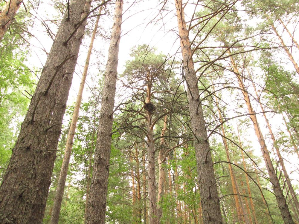 Типичное для боров Алтайского края гнездо большого подорлика на сосне в участке старого леса. Фото И. Карякина